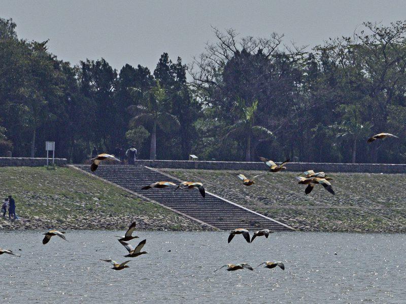 Migratory Birds of Sukhna Lake